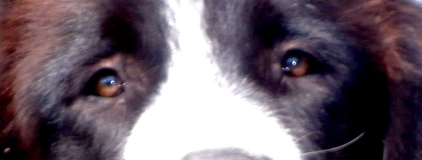 ciobanesc-standard-ochi-detaliu
